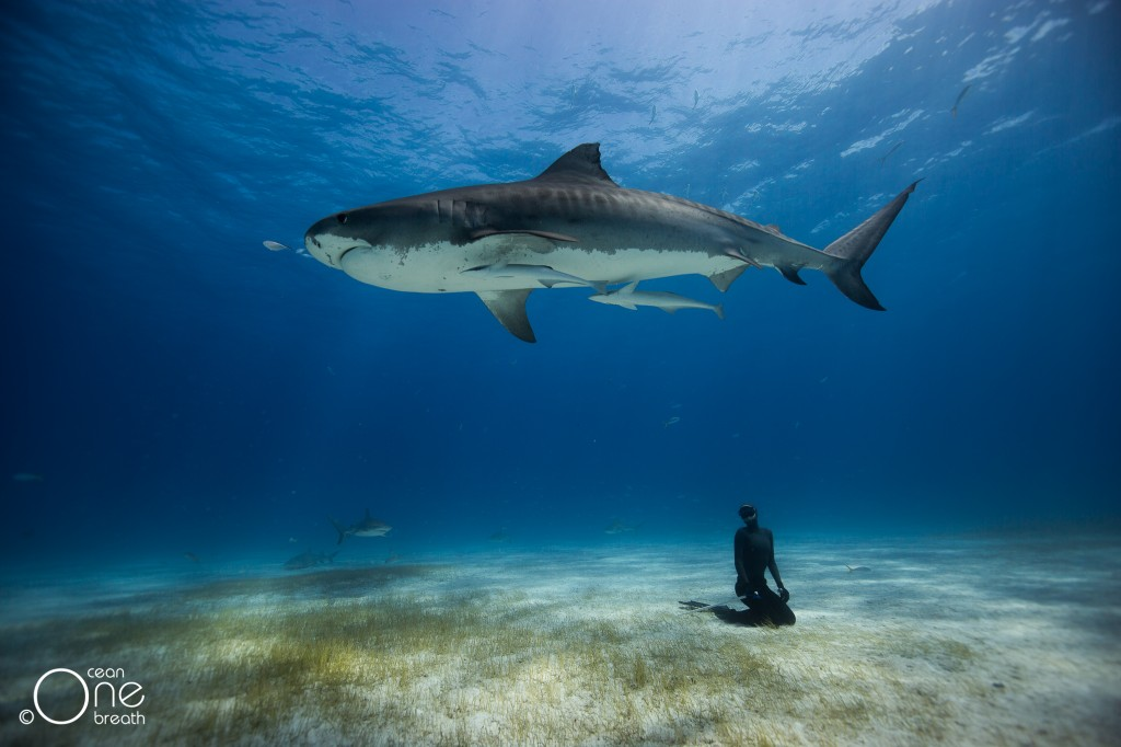 Christina Freediving with Tiger Sharks in the Bahamas. Photo: One Ocean One Breath